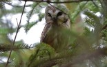 Northern Saw-whet Owl - Owl Woods - © Dick Horsey - Mar 27, 2017