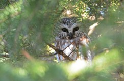 Northern Saw-whet Owl - Owl Woods (RBA Field Trip) - © Dick Horsey - Apr 02, 2017