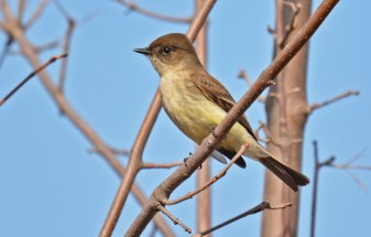 Eastern Phoebe - Beatty Point - © Dick Horsey - Apr 09, 2017