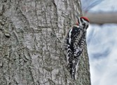 Yellow-bellied Sapsucker - Hamlin Beach Park - © Dick Horsey - Apr 11, 2017
