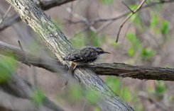 Brown Creeper - Lakeview Church Trail - © Nick Kachala - Apr 15, 2017