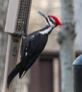 Pileated Woodpecker - Fairport - © Wes Boyce - Apr 15, 2017