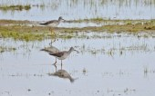 Lesser Yellowlegs - Montezuma NWR - © Dick Horsey - Apr 26, 2017