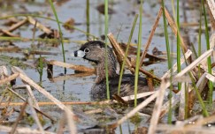 Pied-billed Grebe - Montezuma NWR - © Dick Horsey - Apr 26, 2017