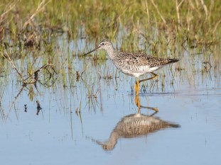 Greater Yellowlegs - Montezuma NWR - © Brett Hoffman - Apr 26, 2017