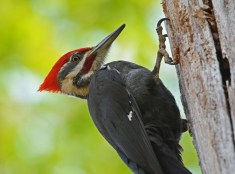 Pileated Woodpecker - Cobbs Hill - © Dick Horsey - Apr 28, 2017
