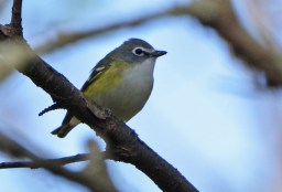 Blue-headed Vireo - Cobbs Hill - © Dick Horsey - Apr 28, 2017