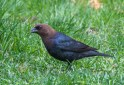 Brown-headed Cowbird - Rochester - © Vern Lindberg - Apr 29, 2017