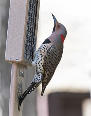 Northern Flicker - Fairport - © Wes Boyce - Apr 17, 2017