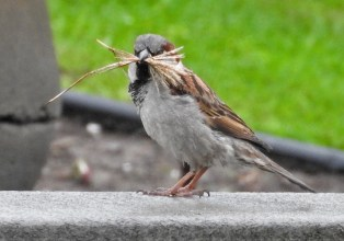 House Sparrow - Irondequoit - © Eunice Thein - May 01, 2017