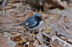 Black-throated Blue Warbler - Cobbs Hill (RBA Field Trip) - © Dick Horsey - May 03, 2017