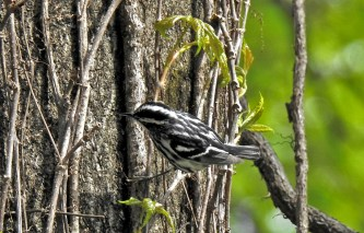 Black-and-white Warbler - Cobbs Hill (RBA Field Trip) - © Candace Giles - May 03, 2017