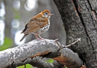 Wood Thrush - Cobbs Hill (RBA Field Trip) - © Candace Giles - May 03, 2017
