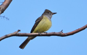 Great Crested Flycatcher - Cobbs Hill - © Dick Horsey - May 09, 2017