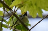 Black-throated Green Warbler - Cobbs Hill - © Dick Horsey - May 12, 2017