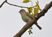 Warbling Vireo - High Acres Nature Area - © Dick Horsey - May 12, 2017