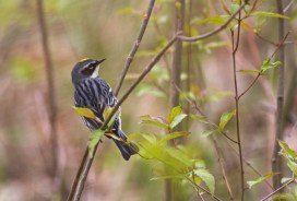 Yellow-rumped Warbler - Island Cottage Woods - © Shawn Cappiello - May 16, 2017