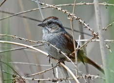 Swamp Sparrow - Lucien Morin Park - © Dick Horsey - May 18, 2017