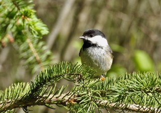 Black-capped Chickadee - Owl Woods (RBA field trip) - © Rosemary Reilly - May 20, 2017