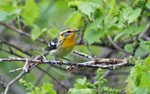 Blackburnian Warbler (F) - Kendall - © Kimberly Sucy - May 21, 2017