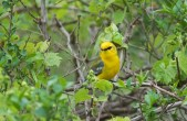 Blue-winged Warbler - Kendall - © Kimberly Sucy - May 21, 2017