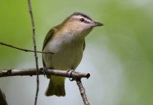 Red-eyed Vireo - Cobbs Hill - © Dick Horsey - May 24, 2017