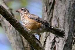 American Robin (Juv) - Webster - © Peggy Mabb - May 28, 2017