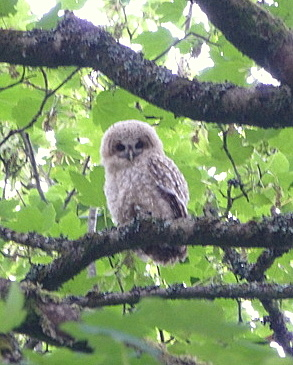 Tawny owl chick at Roch Mill