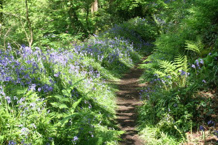 Bluebell path through Prendergast Woods at Solva, Pembrokeshire Coast National Park, South West Wales