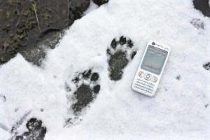 Otter footprints in the snow, Near Newgale, Pembrokeshire
