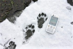 Otter footprints in the snow, Near Newgale, Pembrokeshire