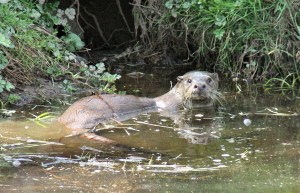 Otter in lower pond at Roch Mill, Newgale, Pembrokeshire