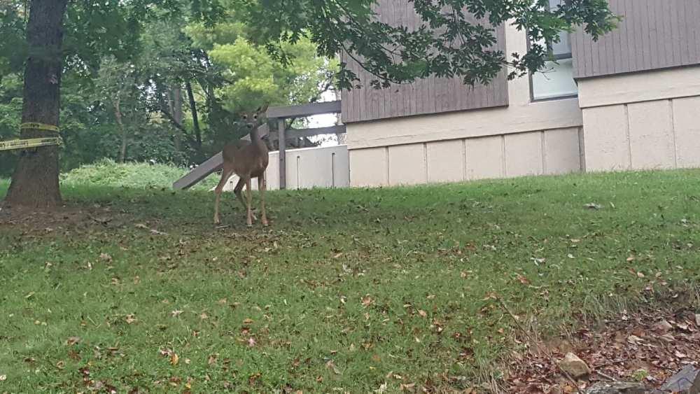 Deer on W&L Campus