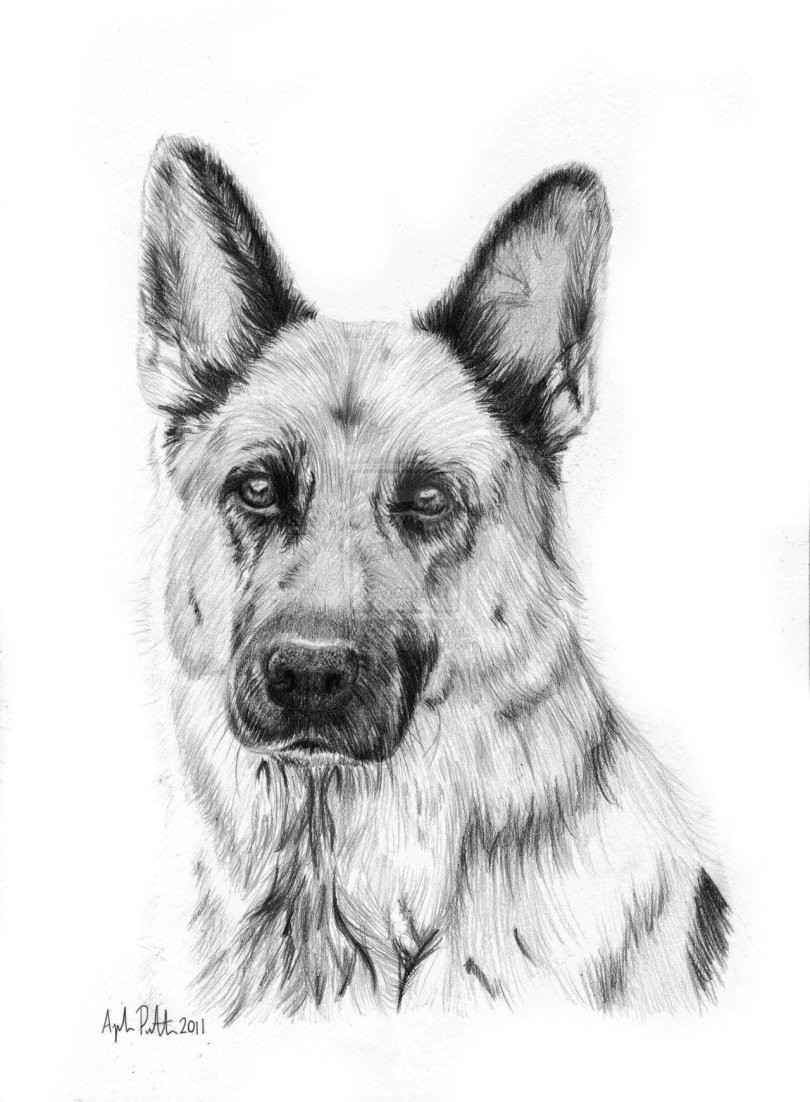 Learn to draw a german shepherd puppy dog step by step ...