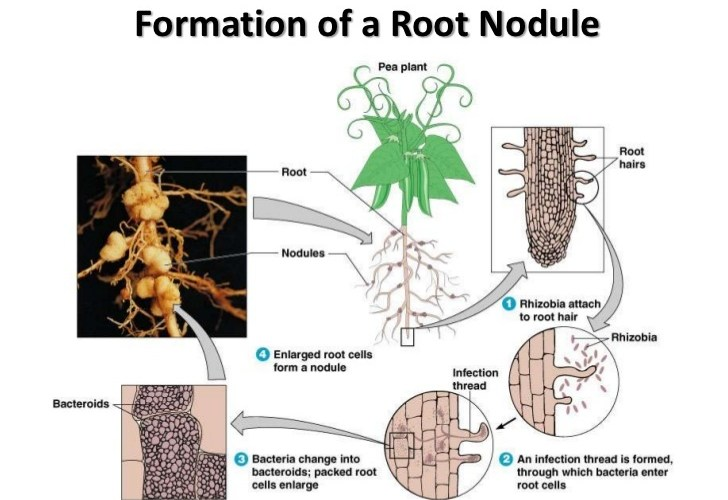 What geological formation has roots