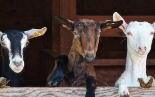Goat's Milk And The Natural Benefits for Your Dog