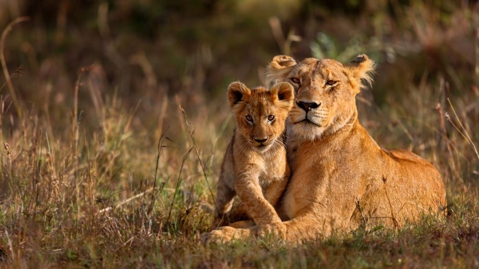 A-tender-moment-between-Lioness-and-cub