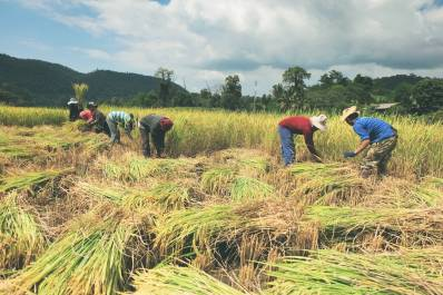 A group of people manually harvesting something,
