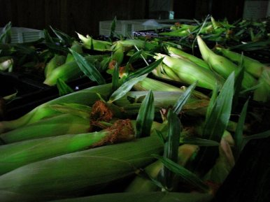TGF corn