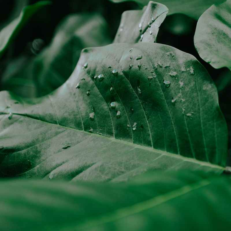 green plant leaf with drops in nature