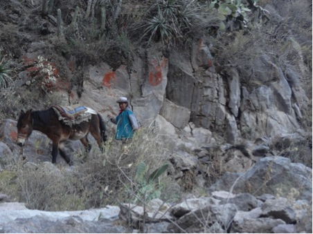 Mule heading down a steep canyon to pick up the next load