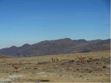 Vicuna, smaller than llamas with softer wool