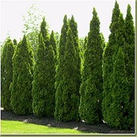 Awesome Fence With Evergreen Plants Landscaping Ideas 31