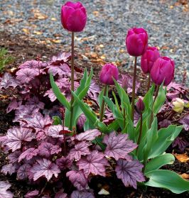 Beauty Tulips Arrangement for Home Garden 3