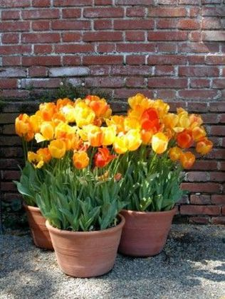 Beauty Tulips Arrangement for Home Garden 8
