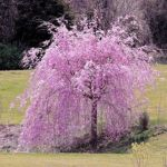 Beautiful Flowering Tree for Yard Landscaping 19