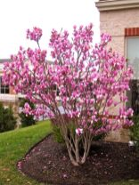 Beautiful Flowering Tree for Yard Landscaping 35