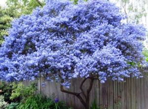Flowering Tree for Yard Landscaping