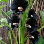 Spooky Plant and Flower Ideas to Make Perfect Goth Garden 2