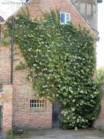 Impressive Climber and Creeper Wall Plants Ideas 20